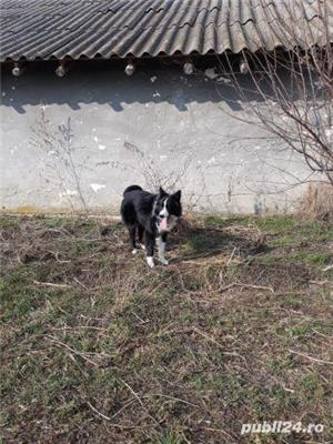 Border Collie  - imagine 13
