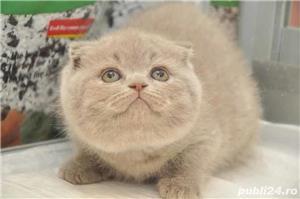 pui pisica scottish lilac si blue - imagine 2