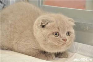 pui pisica scottish lilac si blue - imagine 3