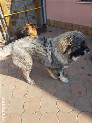 Ciobanesc caucazian  - imagine 2