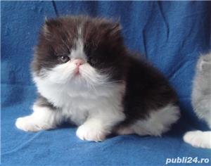pisicuta persana cu boticul turtit - imagine 1