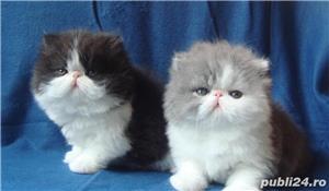 pisicuta persana cu boticul turtit - imagine 3