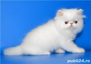 pisicuta persana alba - imagine 2