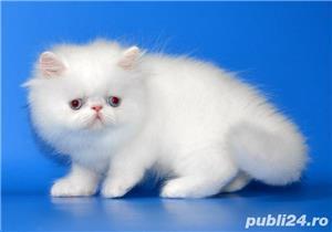 pisicuta persana alba - imagine 1