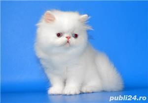 pisicuta persana alba - imagine 3