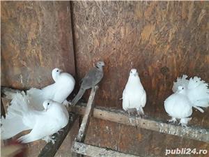 Porumbei voltati - imagine 1