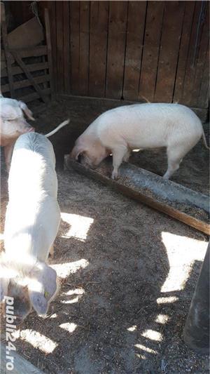 Porci, de carne, de la 80 kg pana la 150 kg - imagine 4