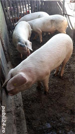 Porci, de carne, de la 80 kg pana la 150 kg - imagine 5