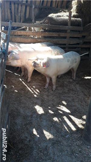 Porci, de carne, de la 80 kg pana la 150 kg - imagine 7