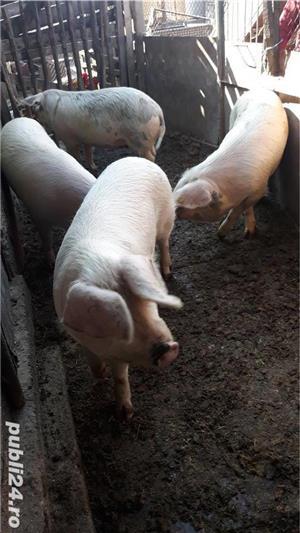 Porci, de carne, de la 80 kg pana la 150 kg - imagine 3