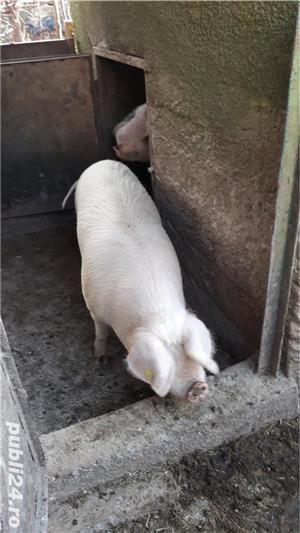 Porci, de carne, de la 80 kg pana la 150 kg - imagine 2