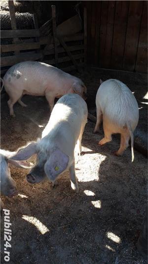 Porci, de carne, de la 80 kg pana la 150 kg - imagine 6