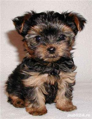vand catei yorkshire terrier - imagine 2