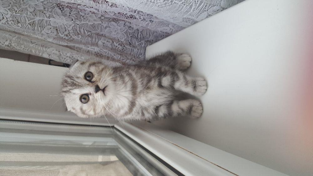 Scottish fold silver tabby si golden tabby - imagine 3