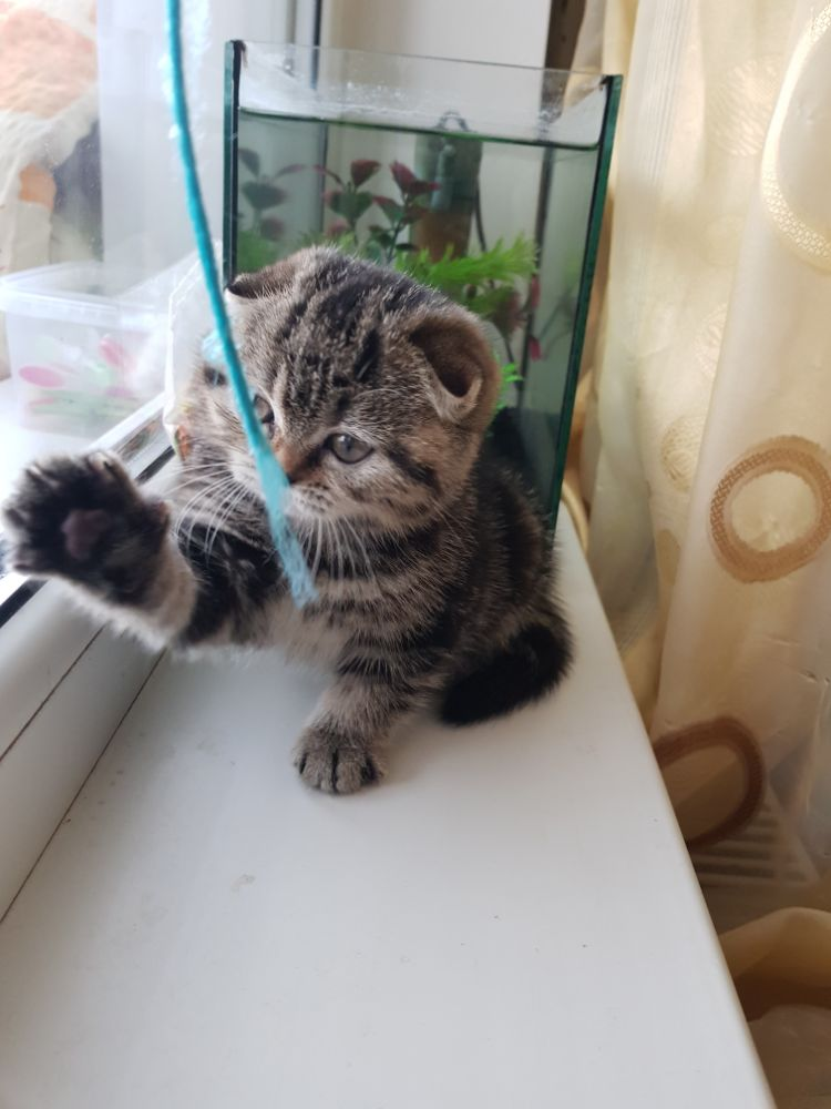 Scottish fold silver tabby si golden tabby - imagine 6