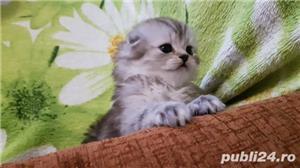 Băiețel Scottish Fold longhair silver tabby whiskas.Deține carnet de sănătate - imagine 2