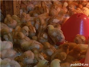 Puicute sexate din rasa ouatoare (Pui Carne Baia Mare) - imagine 3