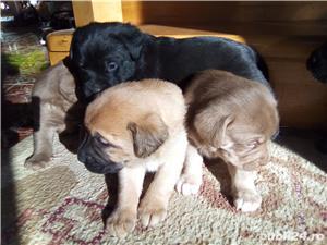 Labrador Retriever pui de vanzare  - imagine 3