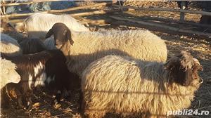 Vand oi cu miei si capre cu iezi - imagine 1