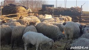 Vand oi cu miei si capre cu iezi - imagine 3