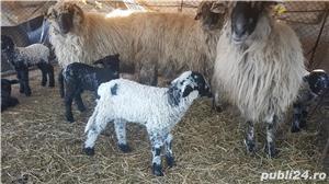 Vand oi cu miei si capre cu iezi - imagine 7