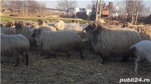 Vand oi cu miei si capre cu iezi - imagine 2