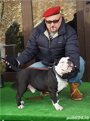 American bully pochet cu pedigree EBKC  - imagine 5