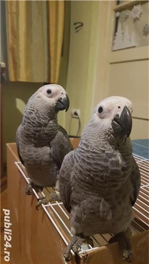 Pui papagali vorbitori 2019 - imagine 3