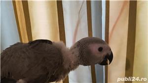 Papagali vorbitori Jako pui 2020 crescuti cu mana - imagine 1