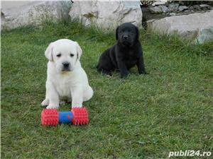 catei labrador cu pedigree tip A- calitate de show - imagine 1