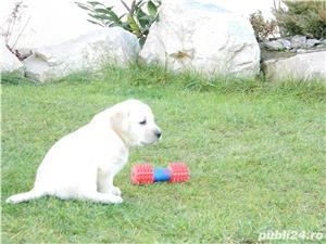 catei labrador cu pedigree tip A- calitate de show - imagine 2