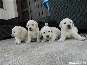 catei labrador cu pedigree tip A- calitate de show - imagine 3
