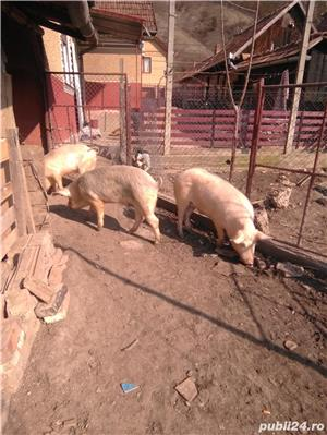Vând porcii - imagine 9