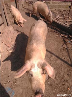 Vând porcii - imagine 3