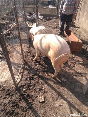 Vând porcii - imagine 7