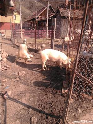 Vând porcii - imagine 10