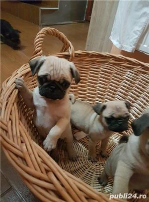 Mops pug-talie mica transport in tara si strainatate. - imagine 1