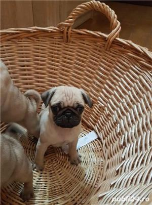 Mops pug-talie mica transport in tara si strainatate. - imagine 2