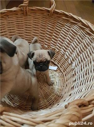 Mops pug-talie mica transport in tara si strainatate. - imagine 4