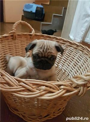 Mops pug-talie mica transport in tara si strainatate. - imagine 3