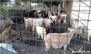 Vand capre cu iezi - imagine 1