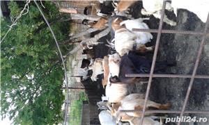 Vand capre cu iezi - imagine 2