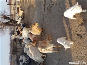 Vand capre cu iezi - imagine 3