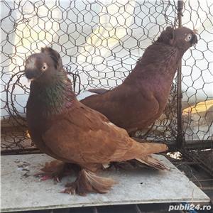 Porumbei Jucatori de Botosani  - imagine 1