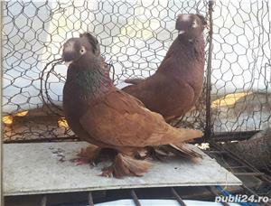 Porumbei Jucatori de Botosani  - imagine 7