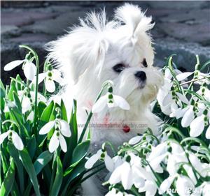 Pui bichon maltese, pedigree A, parinti campioni  - imagine 5