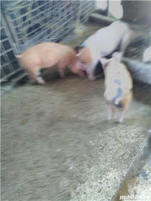 Porci de rasa crescuti cu dragoste si mincare ecologica - imagine 3