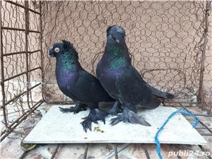 Porumbei Jucatori de Botosani  - imagine 10