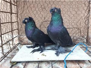 Porumbei Jucatori de Botosani  - imagine 13