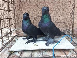 Porumbei Jucatori de Botosani  - imagine 14